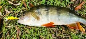 Trout Lure Yellowbelly Bass Redfin Flathead Whiting Bream Perch Salmon Tailor
