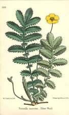 1863 Silver Weed  ~ Potentilla anserina Botanical Print