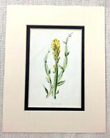Antico Botanico Stampa Giallo Alato Scopa Fiore Bloom Floreale Art Ca. 1913