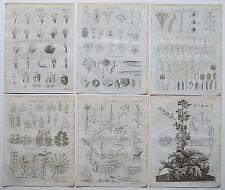 1797 6x originale antico incisioni Botanica Botanico Stampa + Articolo Originale