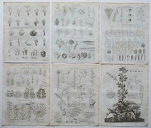 1797 6x Genuine Antique Engravings Botany Botanical Prints + Original Article
