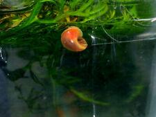 10 Red red Snails Aquarium or Pond, Algae Clean Up, planorbis
