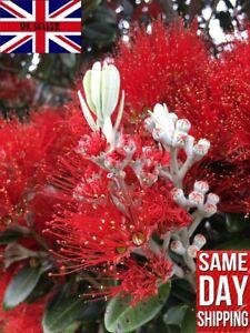 New Zealand Christmas Tree (Metrosideros Excelsa) 100 seeds. Same Day Dispatch