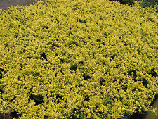 1 Ilex crenata Golden Gem gelbe Blatt Japanische Hülse immergrün 3L Originalbild