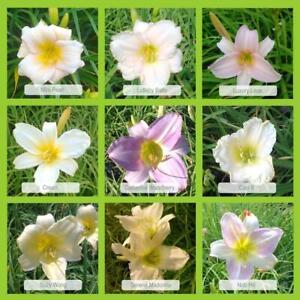9er-Set Taglilien 'Pastellfarbener-Mix' im 1 Liter Topf, Hemerocallis,