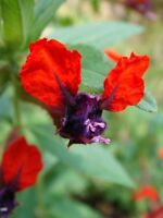 Cuphea Llavea  Batface Pint plant