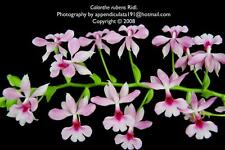 136 Calanthe rubens , Orchid, Miniature plant , Rare orchid