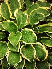 Hosta Partial Shade Perennial Flowers Plants For Sale Ebay
