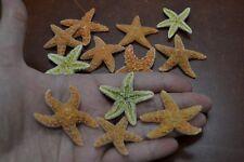 "5 PCS SMALL SUGAR STARFISH STAR SEA SHELL BEACH WEDDING 1"" - 1 1/2"" #7950"