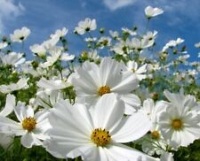 COSMOS PURITY 30 FRESH FLOWER SEEDS FREE USA SHIPPING