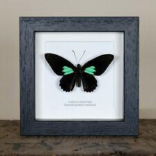 Emerald-patched Cattleheart in Box Frame (Parides sesostris)