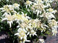 Schlehe essbare Früchte Prunus spinosa 30 Samen Schlehdorn sehr frühe Blüte