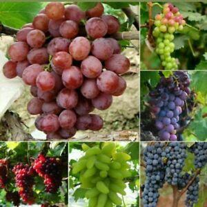 Grape Seeds Vitis Vinifera Delicious Fresh Fruit Organic Seeds - U.K Seller