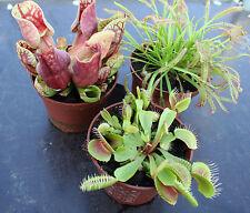 3 live CARNIVOROUS PLANTS: Drosera capensis, Sarracenia purpurea, Venus fly trap