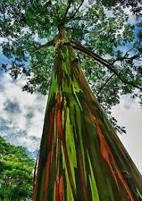 "Rainbow Eucalyptus, deglupta 8"" + Tall Trees Live Rare !"