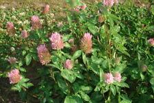 10.000+ Samen Trifolium pratense - Rotklee , Wiesenklee