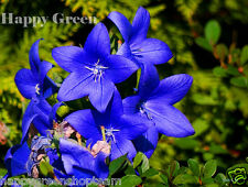 BALLOON FLOWER ASTRA BLUE - 250 seeds - bellflower Platycodon PERENNIAL