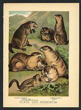 Prairie Dog, Marmot, Babac, Vintage 1897 Chromolithograph Print, Antique, 057