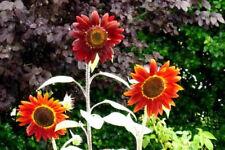 100 EVENING COLORS SUNFLOWER Helianthus Annuus Seeds
