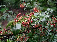 Organic Zanthoxylum Simulans 240 Seeds Szechuan Sichuan Pepper Herb Shrub