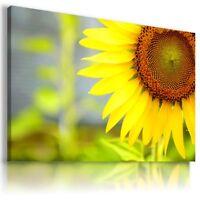 SUNFLOWERS  SUMMER  FLOWER FIELDS Canvas Wall Art Picture  FL6  MATAGA