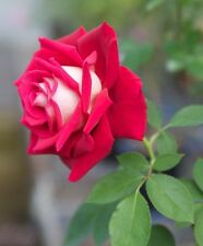 RED AND WHITE BACCARA Rose Bush Seeds - Rare,  (20+ pc) USA SELLER, ships free