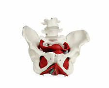 Walter Products Female Pelvis with Organs - B10216