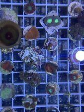 Coral Frag Pack 10 Frags