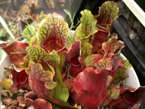 Sarracenia Purpurea Rare Species Carnivorous House Plant 15 Fresh Rare Seeds