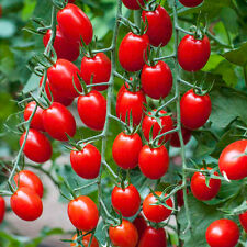 🍅 Baby Red Plum Tomato🍅50-Fines Seeds🍅Sweet & Aromatic 🍅UK SELLER