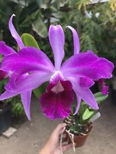 Do- Laelia purpurata v. flammea, Cattleya Orchid species, nice and Choice!