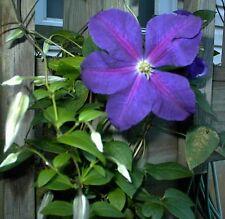 Purple Clematis Flowered Perennial Vine Huge Flowers 25 Seeds
