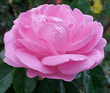 Light pink Rose Flower Seeds 30 Pcs Home Garden Plants Decorations Free Shipping