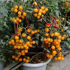 50Pcs Sweet Organic Yellow Tomato Grape Seeds Golden Tiny Tomatoes Plant Seeds