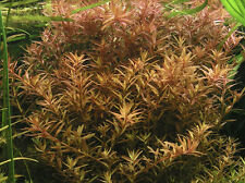 10 Stems Rotala Rotundifolia Live Aquarium Plants