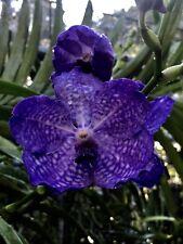 vanda orchid Barbara Ferr