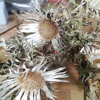5  x Getrocknete Blüten 4-5 cm Echt Silberdistel Eberwurz Distel Trockenblumen