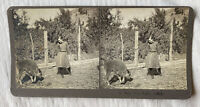 Mad Little Buffalo – Butte Montana – N.A. Forsyth Early 1900s Stereoview Slide