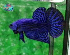 LIVE BETTA FISH PAIR M/F ELECTRIC BLUE WILD TYPE HYBRID READY TO BREEDING (WT1)