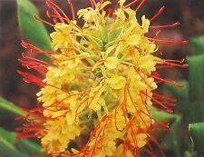 HAWAIIAN KAHILI YELLOW GINGER PLANT ROOT ~ GROW HAWAII