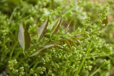 Azadirachta indica 20 seeds Siamese neem tree for planting