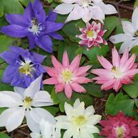 Aquilegia Clematiflora Mix ( Clematis-like Flowers! )  x 25 Seeds