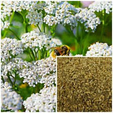 Yarrow, organic, soap making supplies, herbal extracts.