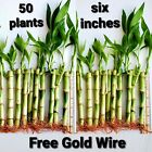 50 Lucky Bamboo Plants 6 inches wholesale, FREE GOLD WIRE, Perennial, GIFT