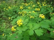 Chelidonium majus 'Greater Celandine' 200 seeds from Moldova
