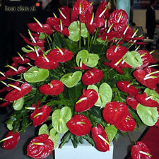 Anthurium Andraeanum Seeds Indoor Potted Flowers Red 100 particles / bag
