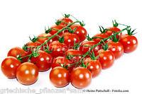 🔥 🍅 Cocktail Tomate CILIEGIA 10 frische Samen Spitzensorte Tomaten