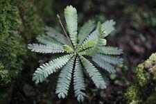 10 Biophytum Sensitivum Seeds, Sensitive Plant, FRESH, terrarium plant