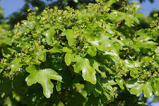 3 Field Maple Hedging, Native Trees Acer Campestre 2-3ft Plants,Autumn Colour