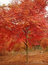 20 JAPANESE MAPLE TREE  Seeds  Acer Palmatum Red tree